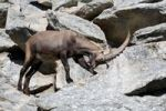 Thumbnail Alpine ibex (Capra ibex), Alpine Zoo Innsbruck, Tyrol, Austria, Europe