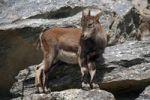 Thumbnail Alpine ibex (Capra ibex), fawn, Alpine Zoo Innsbruck, Tyrol, Austria, Europe