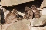 Thumbnail Gelada or Gelada baboons (Theropithecus gelada), group with young, Naturzoo Rheine, North Rhine-Westphalia, Germany, Europe