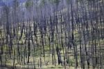 Thumbnail Burnt trees after a forest fire, Barriere, British Columbia, Canada