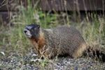 Thumbnail Yellow-bellied marmot (Marmota flaviventris) also known as rock chuck, sitting in front of its burrow, Yellowstone National Park, Wyoming, United States of America, USA