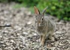 Thumbnail Cottontail rabbit (Sylvilagus), leveret, with ticks on its mouth, Chicago, Illinois, United States of America, USA