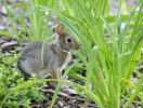 Thumbnail Cottontail rabbit (Sylvilagus), leveret, hiding among tufts of grass, Chicago, Illinois, United States of America, USA