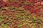 Thumbnail Japanese creeper, Boston ivy or Grape ivy (Parthenocissus tricuspidata), autumn
