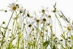 Thumbnail Daisies (Leucanthemum) in a meadow against the light