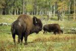Thumbnail American bison or buffalo (Bison bison), bull, Elk Island Park, Alberta, Canada