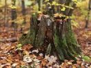 Thumbnail Fall nature scenery of a tree stump covered with moss and surrounded by fallen maple leaves, Arrowhead Provincial Park, Ontario, Canada