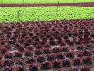 Thumbnail cultivation of salad on a field, rows of red and green salad plants