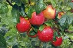 "Thumbnail ""Rewena"" Apples (Malus domestica) growing on an apple tree, fruit-growing region Altes Land, Lower Saxony, Hamburg, Germany, Europe"