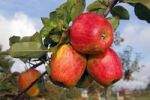 "Thumbnail Red ""Finkenwerder Herbstprinz"" Apples (Malus domestica) growing on an apple tree, fruit-growing region Altes Land, Lower Saxony, Hamburg, Germany, Europe"