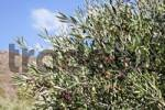 Thumbnail maturing olives, Crete, Greece