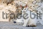 Thumbnail cat, Thira, Santorini, Greece