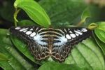 Thumbnail Blue Clipper (Parthenos sylvia), Asia