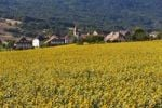 Thumbnail The village Onnens behind a field of sunflowers, Lake Neuchâtel, Switzerland, Europe