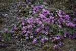 Thumbnail Moss Campion (Silene acaulis) in Svalbard, Norway, Europe