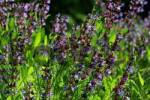 Thumbnail common sage Salvia officinalis