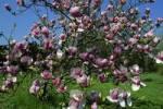 Thumbnail lennes magnolia Magnolia x soulangiana Rustica Rubra