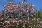 Thumbnail magnolia - hybrid Magnolia Ricky