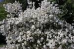 Thumbnail star magnolia Magnolia stellata Water Lily