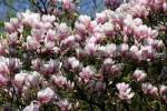 Thumbnail lennes magnolia Magnolia soulangiana
