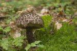 Thumbnail Old Man of the Woods (Strobilomyces strobilaceus)