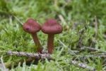 Thumbnail Surprise Webcap (Cortinarius sanguineus)