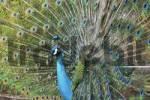 Thumbnail peacock Pavo cristatus, Indian peacock