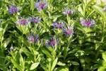 Thumbnail Mountain Knapweed, Mountain Cornflower, Centaurea montana