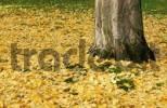Thumbnail Autumn foliage, Ginkgo tree, Ginkgo biloba