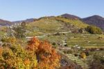 Thumbnail Vineyards on Tausendeimerberg mountain in autumn, Spitz, Wachau valley, Waldviertel region, Lower Austria, Austria, Europe