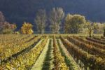 Thumbnail Vineyards and trees on the Danube river in autumn, Woesendorf, Wachau valley, Waldviertel region, Lower Austria, Austria, Europe