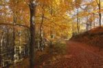 Thumbnail Beech forest in autumn, Weissenkirchen in the Wachau valley, Waldviertel region, Lower Austria, Austria, Europe