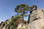 Thumbnail Pine tree growing on a rock, Vogelberg mountain near Duernstein, Wachau valley, Waldviertel region, Lower Austria, Austria, Europe
