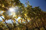 Thumbnail Vine stocks with coloured leaves, a vineyard in autumn, Jenesien, San Genesio, province of Bolzano-Bozen, South Tyrol, Italy, Europe