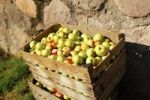 Thumbnail Box of freshly picked apples in autumn, Jenesien, San Genesio, province of Bolzano-Bozen, South Tyrol, Italy, Europe