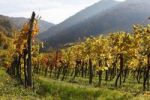 Thumbnail Autumn vineyards, Oberarnsdorf, Wachau, Mostviertel region, Lower Austria, Austria, Europe