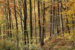 Thumbnail Autumnal deciduous forest, Aggstein, Dunkelsteinerwald area, Wachau, Mostviertel region, Lower Austria, Austria, Europe