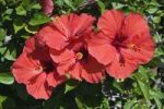 Thumbnail Red hibiscus flowers (Hibiscus), Lanzarote, Canary Islands, Spain, Europe