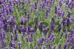 Thumbnail Lavender Lavandula in a park, Wuerzburg, Bavaria, Germany