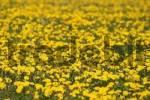 Thumbnail dandelion - Bearnan Bride - Taraxacum officinale
