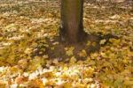 Thumbnail Maple leaves (Acer platanoides), autumnal foliage underneath a tree