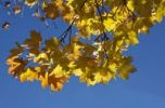 Thumbnail Maple leaves (Acer platanoides), autumnal foliage