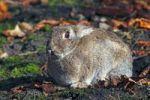 Thumbnail European Rabbit (Oryctolagus cuniculus)