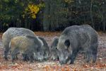 Thumbnail A sounder of wild boars (Sus scrofa), in autumn