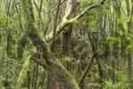 Thumbnail Garajonay National Park laurisilva in Barranco de Sobreagulo - La Gomera