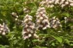 Thumbnail flower of Horsechestnut - Horse Chestnut - Aesculus hippocastanum