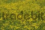 Thumbnail buttercup in blooming meadow - Allgäu - Germany