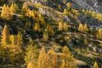 Thumbnail Larches near Zermatt, Valais, Switzerland