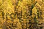 Thumbnail Larches in autumn