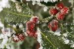 Thumbnail Hoarfrosted red berries of the holly Ilex aquifolium